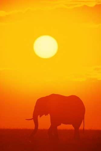 elephant in sunset 