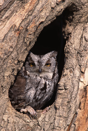 screech owl