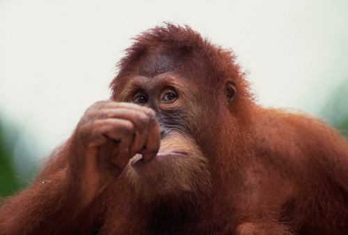 picture of orangutan