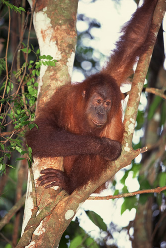 orangutan in a tree