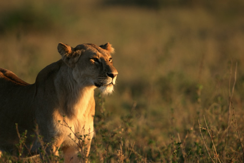 Lioness on the savannah