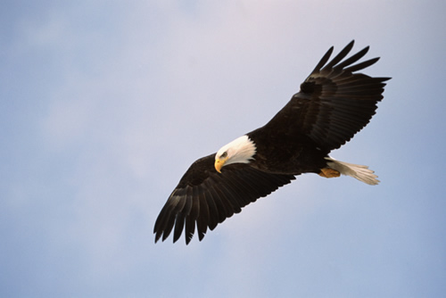 Eagle soaring over its territory.
